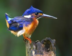 Kingfishers are so adorable--Photo and caption by Lily Novilia    Camera Canon EOS 7D    Location: Indonesia