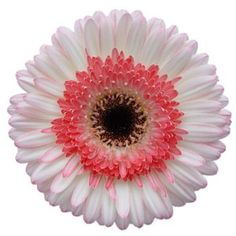 FiftyFlowers.com - White with Pink Super Gerber Daisy Flower