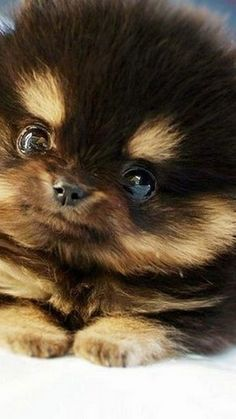 Inquisitive by nature and cute in size, Pomeranians are a true 'toy dog.' Pomeranians are perky and friendly and if you are thinking about getting a puppy Pomeranian Haircut, Pomeranian Husky, Funny Cat Memes, Funny Cat Videos, Dog Pictures, Animal Pictures, Cat Fails, Getting A Puppy, Funny Cats And Dogs