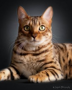 """""""OMG!, when I first saw these cats. My jay dropped. I had never seen cats like these. They look like tigers. These are Bengal cats. They are very expensive. It's was amazing photographing them."""" ~ Jaybeck   Purreciouspots cattery http://www.purreciouspots.com/Gallery.html"""