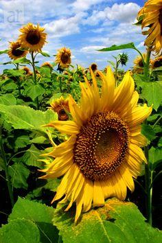 Sunflowers Photography at ArtistRising.com
