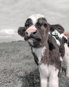 Super Cute Animals, Cute Little Animals, Cute Funny Animals, Baby Farm Animals, Baby Cows, Fluffy Cows, Fluffy Animals, Pet Cows, Cow Wallpaper