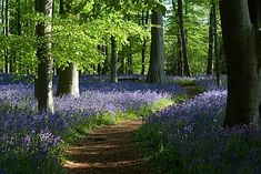 ♥ English Bluebell woods at Coton Manor, Northamptonshire