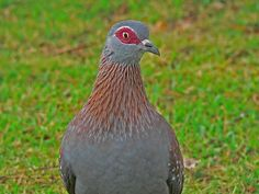 Speckled (Rock Dove) Pigeon. I love the red around its eyes.