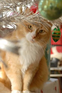 My handsome boy - Captain Puffy Pants. #mainecooncat #gingercat #christmascat
