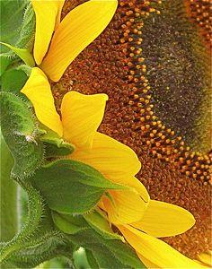 Giant sunflower from: The Idea Garden at the University of Illinois Arboretum at Urbana, Illinois.