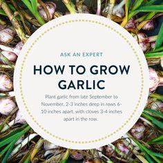 Tips on growing garlic. Growing Vegetables, Garlic, Tips, Plants, Backyard Farming, Plant, Planting Vegetables, Planets, Gardening Vegetables