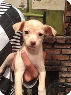 El Cajon, CA - Poodle (Toy or Tea Cup)/Chihuahua Mix. Meet May a Puppy for Adoption.