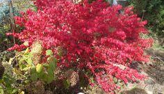Új cikk: Színek az őszi kertben, http://kertinfo.hu/szinek-az-oszi-kertben/, ezekben a témakörökben:  #Ajándék #Alma #Díszkert #Díszkertinövény #Esővíz #Fák #Füvesítés #Gyümölcs #Kert #Kertészkedés #Kéziszerszámok #Konyhakertieszközök #Mag #Metszés #Növény #Rózsa #Sövények #Tavaszi #Virág, írta: Blog Nellikert