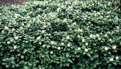 Ground Cover Plants, Green Carpet, Creepers, Herbs, Leaves, Climbers, Garden, Modern, Image