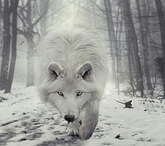 A wolf a lonely animal that is always by his self