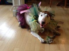 Dog dress up costume bull terrier