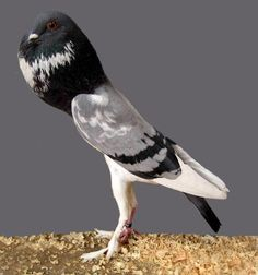 A show pigeon known as a blue bar pigmy pouter pigeon.