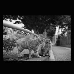 https://flic.kr/p/ui2yG8 | Cyaro and Otubone June 2015  #cat #smallcats #blackandwhitephotography