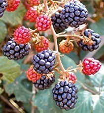 Olallieberry growing shrub or vine of the genus Rubus human hybrid also known as Olalieberry or Olaliberry, Olallieberry perennial deciduous thorny plant but the branches are biennial they bearing fr