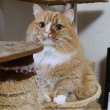 マンチカンズと仲間たち(短足猫のマンチカンの画像と動画)の画像
