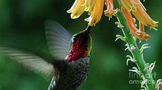 A hummingbird feeding from an aloe vera bloom. Photo by Chandra Nyleen