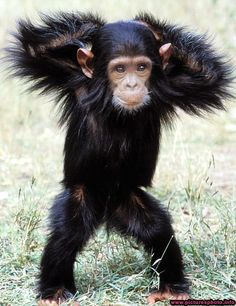 Chimpanzee's the most intelligent and adorable animals on the planet
