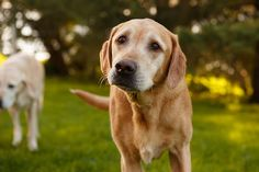 Daily Dose - September 21, 2015 - Old Friends - Yellow Labs - Skippy and Skyler  2015©Barbara O'Brien Photography