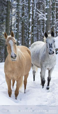 2019 Beautiful Horses Slim Poster Calendar - Animal Calendar - 33 x Horses In Snow, Horses And Dogs, Cute Horses, Horse Love, Wild Horses, All The Pretty Horses, Beautiful Horses, Animals Beautiful, Large Animals