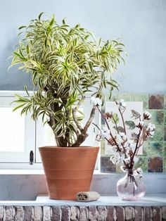 Beautiful leaves in fashionable colours on a sturdy trunk: Dracaena is a statement plant with an exotic look.