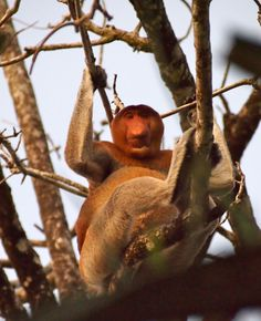Sitting on the beach we watch twilight descend on Mount Santubong from across the peninsula. Proboscis monkeys (Nasalis larvatus) forage for leaves in the branches behind us. Looking up, we see a large male looking down his nose at us from a branch, regarding us with a somber, clown like air.  These unusual, almost comical looking monkeys are some of the most recognizable in the world with their long noses and pot bellies. Proboscis monkeys eat a variety of leaves and fruits and live in ...