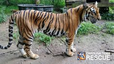 Shira Tiger, rescued April She's settling into her forever home beautifully! Big Cats, Cute Animals, Beautiful, Flora, Tigers, Pretty Animals, Cutest Animals, Cute Funny Animals, Plants