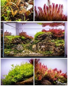 Update of Luis Cardoso's planted aquarium powered by Aquaflora plants. #Aquaflora #Aquascaping #planted #aquarium #aquatic #plant #freshwater #plantedtank #aquascape #plantedaquarium #Twinstar