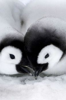 Animal Pictures: 150 Of The Cutest Animals! - Young love blossoms between gorgeous little emperor penguins. -Cute Animal Pictures: 150 Of The Cutest Animals! - Young love blossoms between gorgeous little emperor penguins. Cute Baby Animals, Animals And Pets, Funny Animals, Penguin Love, Cute Penguins, Penguin Craft, Beautiful Birds, Animals Beautiful, Pinguin Illustration