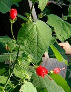 Turk's cap in bloom. (photo by Bill Ward). Recommend by Marty