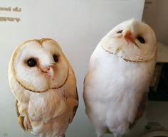 立派なエリンギが生えました(笑) #ふくろうの里 #ふくろうの里原宿店 #ふくろう #メンフクロウ #エリンギ #カノン #ハク #仲良し #owlvillage #owlvillageharajuku #owl #barnowl #canon #haku #friends #followme #harajuku #tokyo