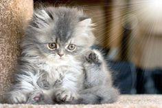 Fluffy Kittens | fluffy kitten | Flickr - Photo Sharing!