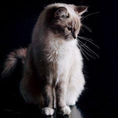 """"""" #cat #cats #catsofinstagram #instacat #instagramanet #instatag #catstagram  #catlover #catoftheday #catsagram #catlovers #caturday #catlady #cathedral…"""""""