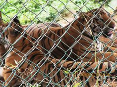 Mumbai-Mornings-Borivali-National-Park-tigers