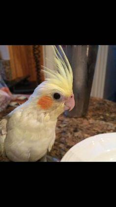 LOST COCKATIEL: 05/28/2017 - Mount Kisco, New York, NY, United States. Ref#: L30691 - #ParrotAlert #LostBird #LostParrot #MissingBird #MissingParrot #LostCockatiel #MissingCockatiel