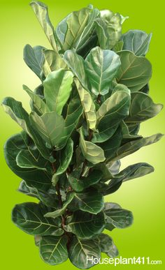 Fycus lyrata #houseplants often have leaves only at the top. Read how to prune this plant to get it full again. http://www.houseplant411.com/askjudy/how-to-prune-a-leggy-ficus-lyrata