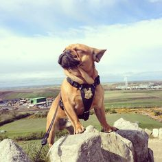 'King of the World!', Majestic French Bulldog