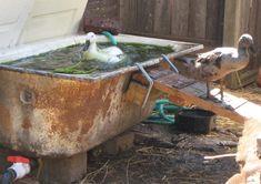Filename: IMG_4251.JPG Description: bathtub duck pond