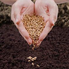 artemisia annua seeds