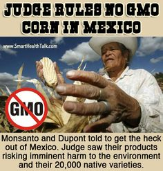 Smart Health Talk Pick: Mexico Bans GMOs Effective Immediately. Sorry Monsanto/Dupont guess you won't be able to contaminate the 20,000 native varieties of Mexico's corn like you planned. Largest tortilla maker had already committed to no GMO corn. Wow this is going to be a big blow to you since you probably had plans to use Mexico to do your experiments also, but looks like that's not working out for you either. So why is Mexico banning GMOs and US not? Are we coveting a criminal to humanity?