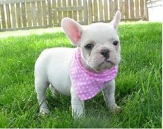Regalo Cachorro De Bulldog Frances En Adopcion