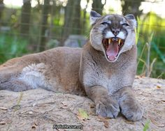 """Reise Cougar says, """"Check out today's Big Cat Updates!""""https://bigcatrescue.org/jan-27-2017/"""