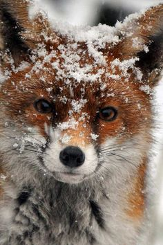Red Fox What's cuter than cute animals? Why cute animals covered in snow of course! Start your day with a smile with these adorable pictures. Nature Animals, Animals And Pets, Animals In Snow, Wild Animals, Farm Animals, Beautiful Creatures, Animals Beautiful, Animals Amazing, Majestic Animals
