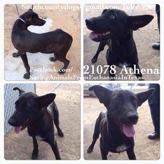 Saving Dogs from Euthanasia in Texas :           ATHENA SAFE !!!!