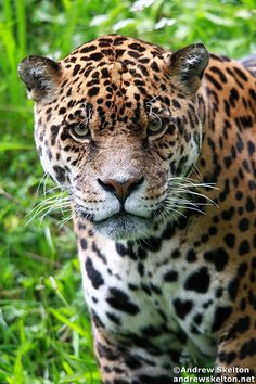 Jaguar by Andrew Skelton Photography http://andrewskelton.net.