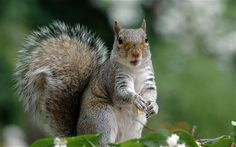 Although originally imported as fashionable additions to estates, the grey squirrel is noted as the main threat to the survival of the native red population Dead Squirrel, Animal Pictures, Funny Pictures, Funny Pics, Christmas Squirrel, Hatfields And Mccoys, London Map, First Humans, Bigfoot