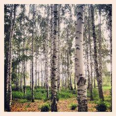Birch forest near Rostov, Russia