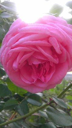 My Double Fluff Pink Rose 2012