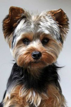 Yorkie puppy cut, What is a puppy cut | Yorkiemag