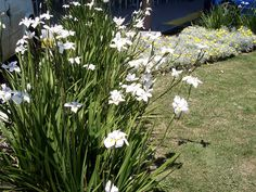 Dietes grandiflora (large wild iris, fairy iris) is a rhozomatous perennial plant with long, rigid, sword-like green leaves belonging to the Iridaceae family.